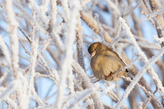 Sparrow sitting in frost bush Royalty Free Stock Photography