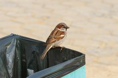 Sparrow sitting on the garbage can royalty free stock photos