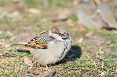 Sparrow. Sitting on the ground covered in autumn leaves, shallow depth of field Stock Photo