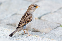 A sparrow sitting on the ground Royalty Free Stock Photos