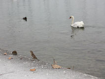Sparrow sitting on the ground, and a swan - floats by water. Sparrow sitting on the ground, and a swan - floats on water Stock Photos