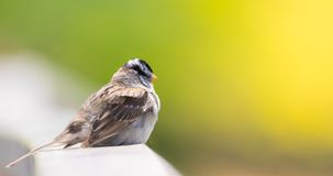 Small sparrow on the guard rail royalty free stock image