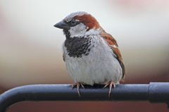 Sparrow sitting on a handrail Royalty Free Stock Photos