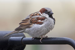 Sparrow sitting on a handrail Stock Images