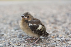 Sparrow sitting helplessly on the road Royalty Free Stock Images