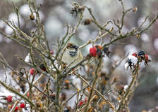 Sparrow sitting on leafless twigs of wild rose Royalty Free Stock Photos