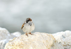 A sparrow sitting on a limestone rock Royalty Free Stock Photography