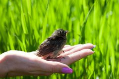 Sparrow sitting on a palm. Sparrow sitting on the palm of the girl. Green grass in the background royalty free stock image