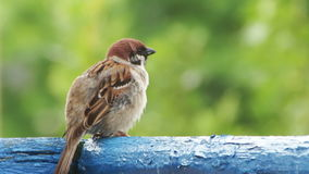 Sparrow Sitting on the Railing of the Balcony. Sparrow sitting on a wooden railing balconies. Close-up of bird on a background of green trees and nature. Full HD stock video footage