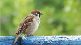 Sparrow Sitting on the Railing of the Balcony. Sparrow sitting on a wooden railing balconies. Close-up of bird on a background of green trees and nature. Full HD stock footage