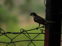 The sparrow Stock Photography