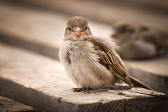 Sparrow sitting on a shelf Royalty Free Stock Photography