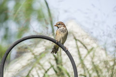 Sparrow Sitting on a Shepherd Hook Stock Photos