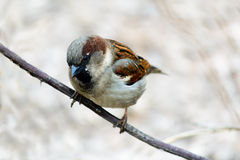 Sparrow sitting on a tree.  Stock Image