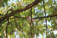 Sparrow. Sitting on a tree Stock Photography