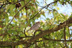 Sparrow. Sitting on a tree Royalty Free Stock Image