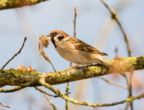 Sparrow sitting on a tree branch Royalty Free Stock Image