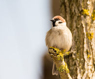 Sparrow sitting on a tree branch Royalty Free Stock Photos