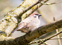 Sparrow sitting on a tree branch Stock Photo