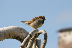 Sparrow Sitting on a Tree Branch Royalty Free Stock Images