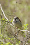 Sparrow sitting on a tree branch. Spring sunny day sparrow sitting on a tree branch Royalty Free Stock Image