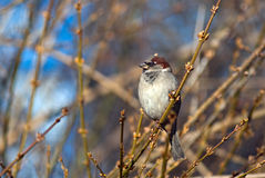 Sparrow sitting on a tree branch. In winter park, Kyiv, Ukraine Royalty Free Stock Photography
