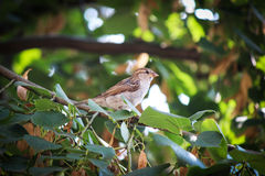 Sparrow. Sitting in a tree and enjoying sunny day royalty free stock photos