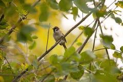 Sparrow sitting on the tree Stock Photos