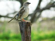 Sparrow on tree. Sparrow sitting on a tree and relaxing on a sunny hot day stock photo