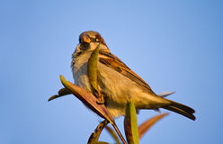 Sparrow sitting on twig Royalty Free Stock Image