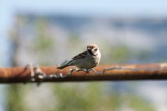 Sparrow sitting on a wire. Bird, summer Royalty Free Stock Image