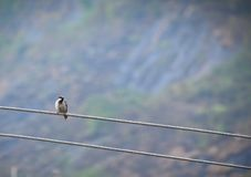 A sparrow sitting on a wire Royalty Free Stock Images