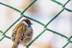 A sparrow sitting on wire mesh Royalty Free Stock Photo