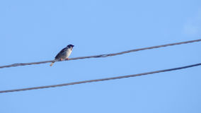 Sparrow sitting on wires. Royalty Free Stock Photos