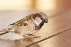 Sparrow sitting on a wooden table and looks at the bread crumbs. Royalty Free Stock Images