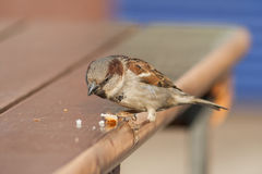 Sparrow sitting on a wooden table, near the cafe, looking at the Royalty Free Stock Photography