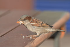 Sparrow sitting on a wooden table, near the cafe, took a in the Royalty Free Stock Photo