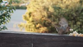 Sparrow in a slowdown takes off stock footage