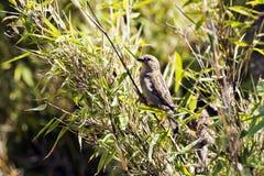 Sparrow, small bird Royalty Free Stock Photo