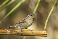 Sparrow. Small bird in garden Royalty Free Stock Photo
