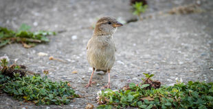 Sparrow. Small sparrow posing in front of camera Stock Image