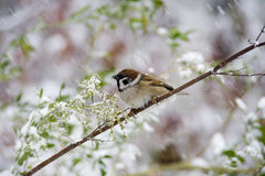 Sparrow with snow Stock Photography