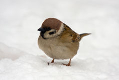 Sparrow on snow Stock Photos