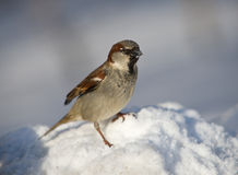 Sparrow on snow Stock Images