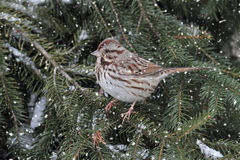 Sparrow In Snow. Song Sparrow (Melospiza melodia) perched on a snow covered tree limb in falling snow Royalty Free Stock Photography