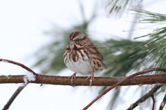 Sparrow In Snow. Song Sparrow (Melospiza melodia) perched on a tree limb in snow stock photography