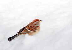 Sparrow in the snow Stock Photography