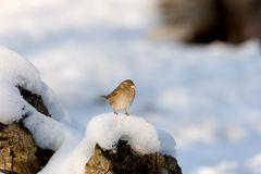 Sparrow in snow. Sparrow in the snow on  a log of wood Stock Image