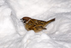 Sparrow in a snow hole Stock Image