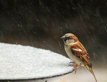Sparrow in the snow 2 Stock Images